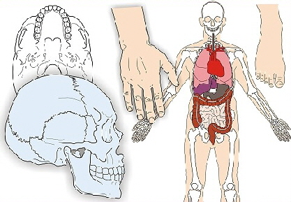 Anatomische Illustrationen